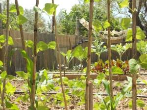 Cultivo Precolombino